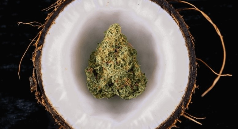 cannabis coconut oil uses